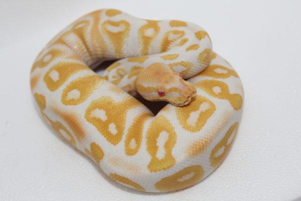 königspython albino