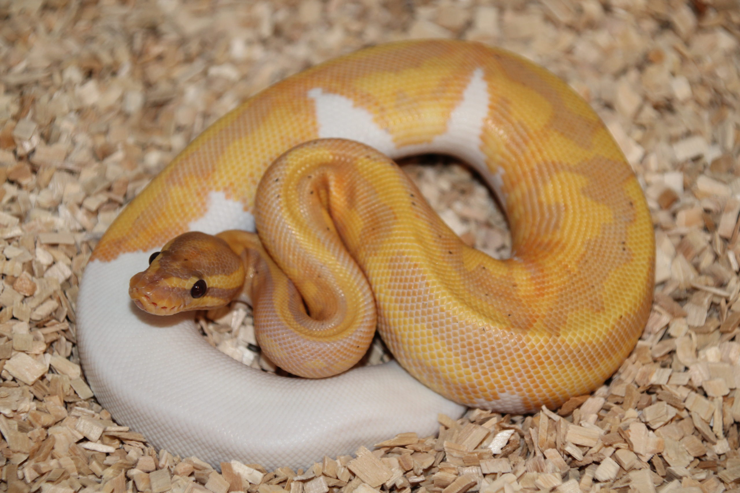 Python Regius Banana Leopard Piebald